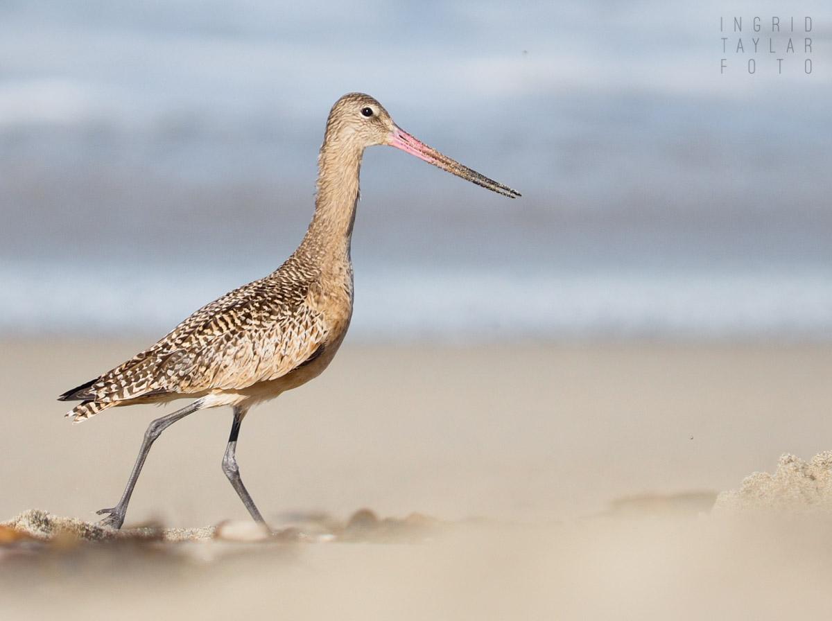 Marbled Godwit on a Beach Walk