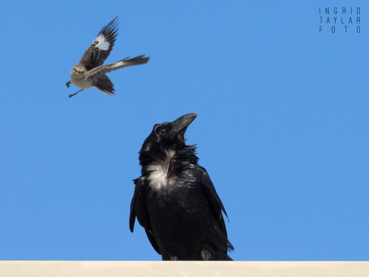 Mockingbird Mobbing Raven