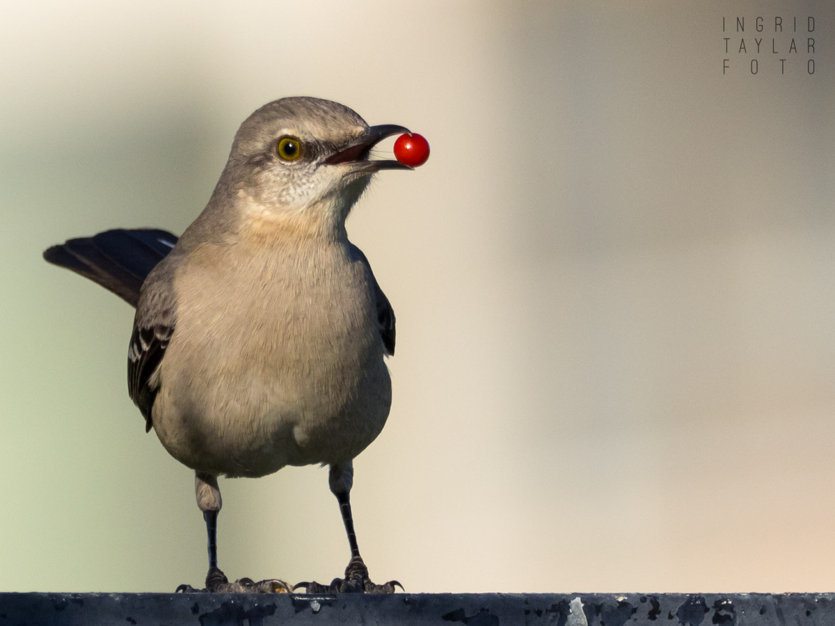 Mockingbird with Red Berry