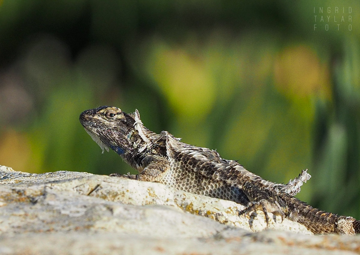 Molting Fence Lizard