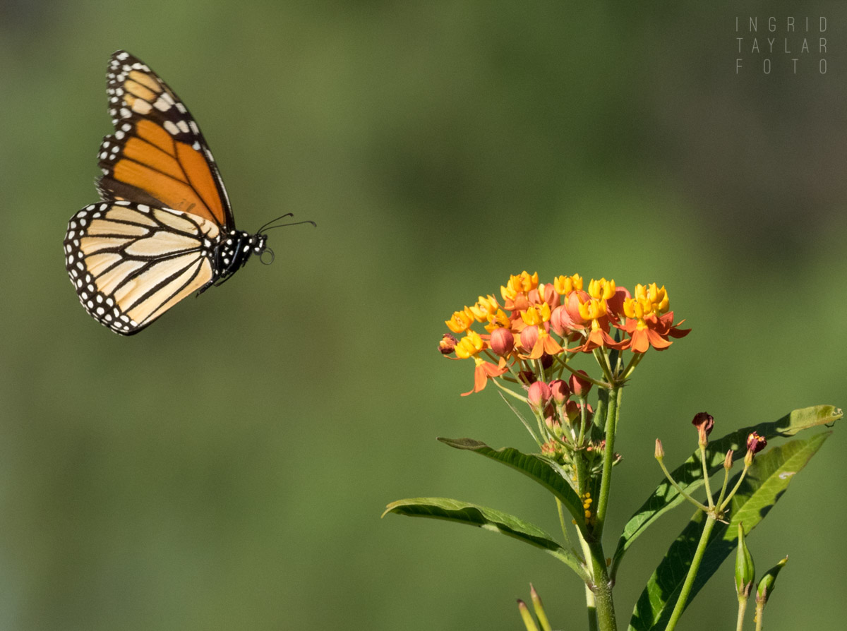 Monarch Butterfly and Tropical Milkweed