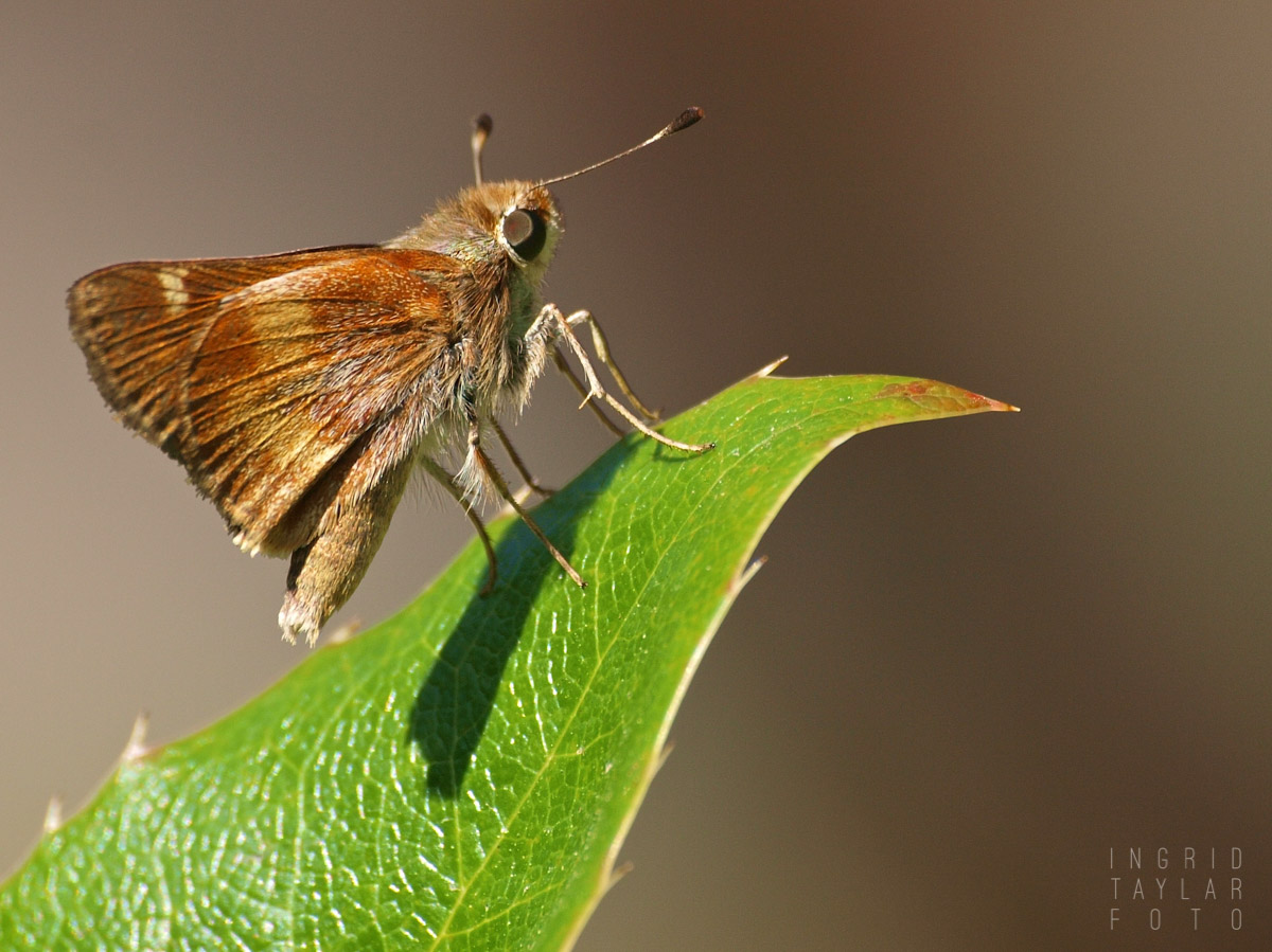 Brown Skipper on Leaf