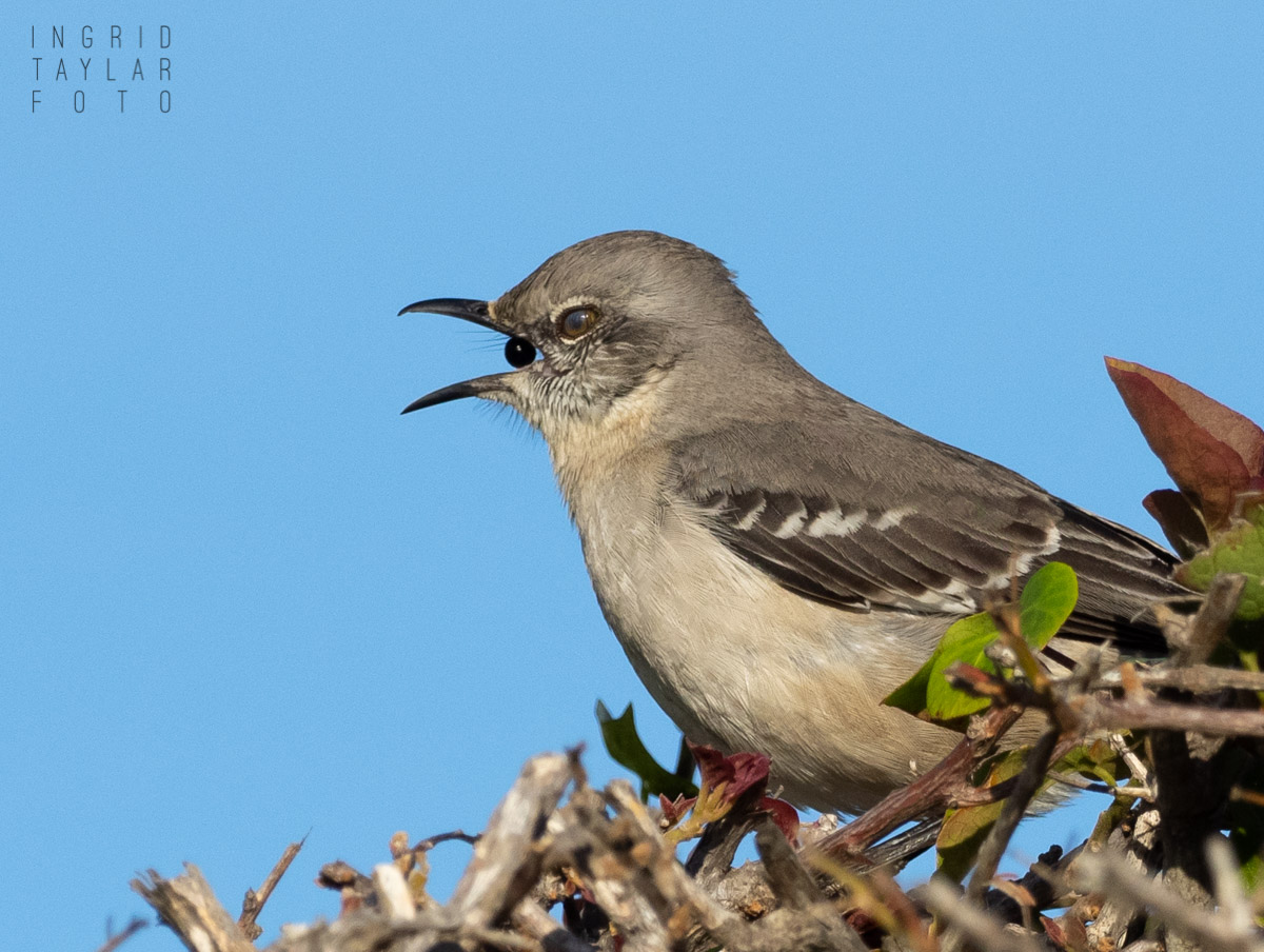 Northern Mockingbird Coughing Up Seed