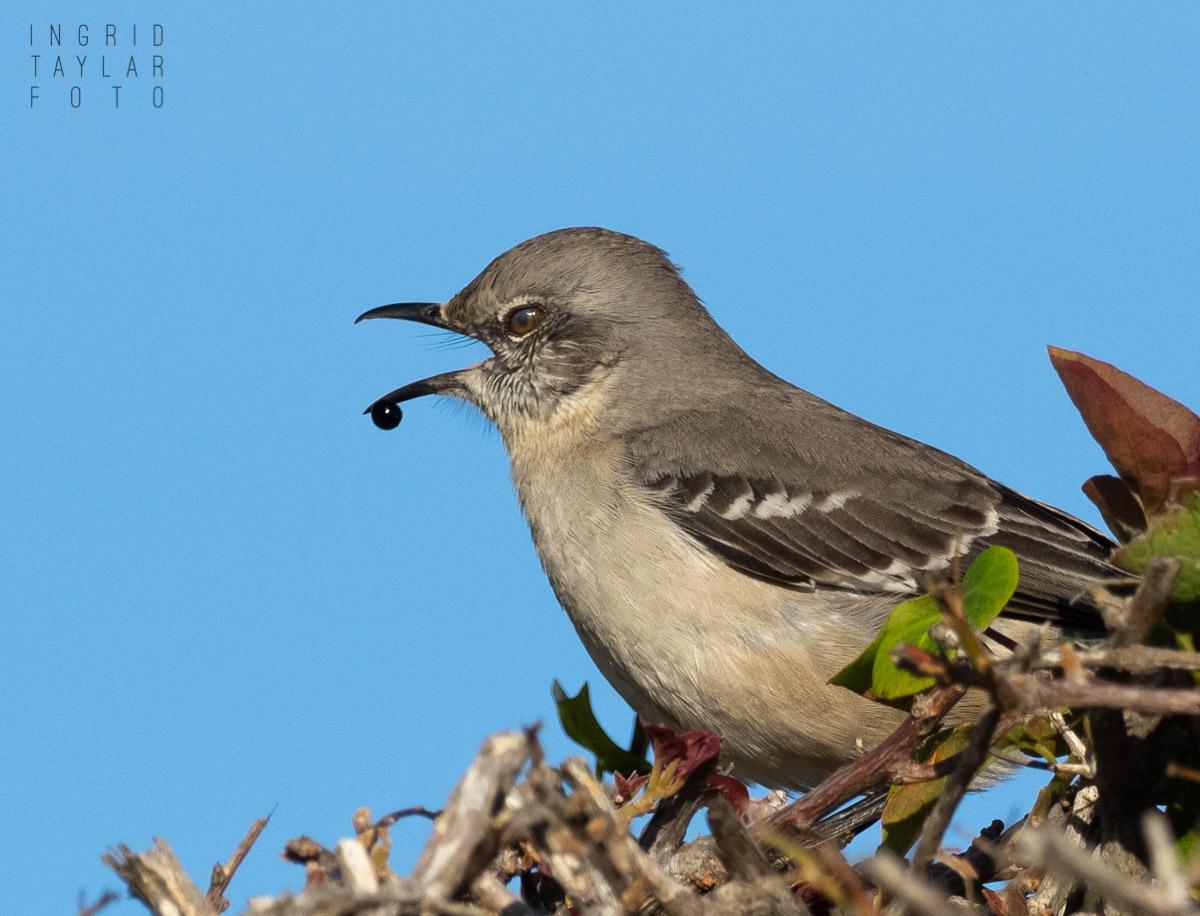 Northern Mockingbird Regurgitating Seed