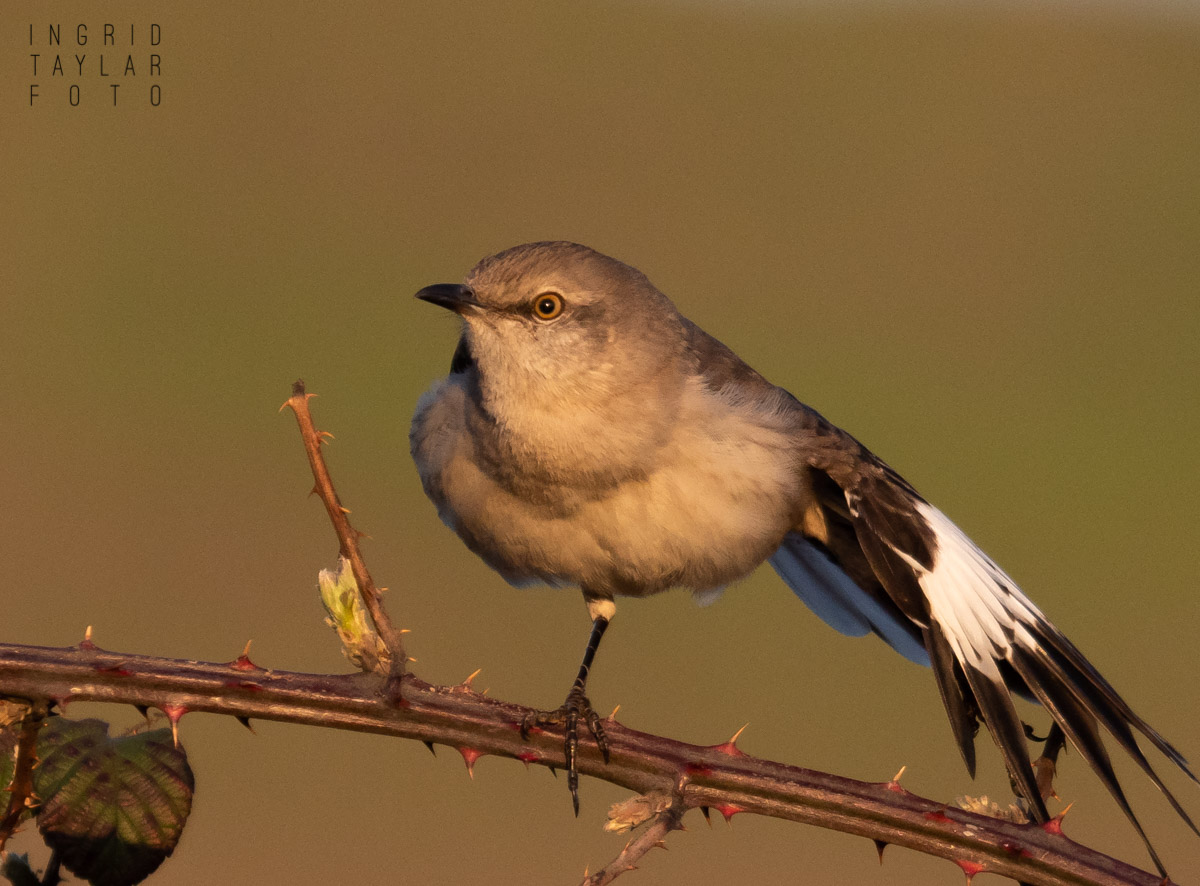 Northern Mockingbird Wing Stretch