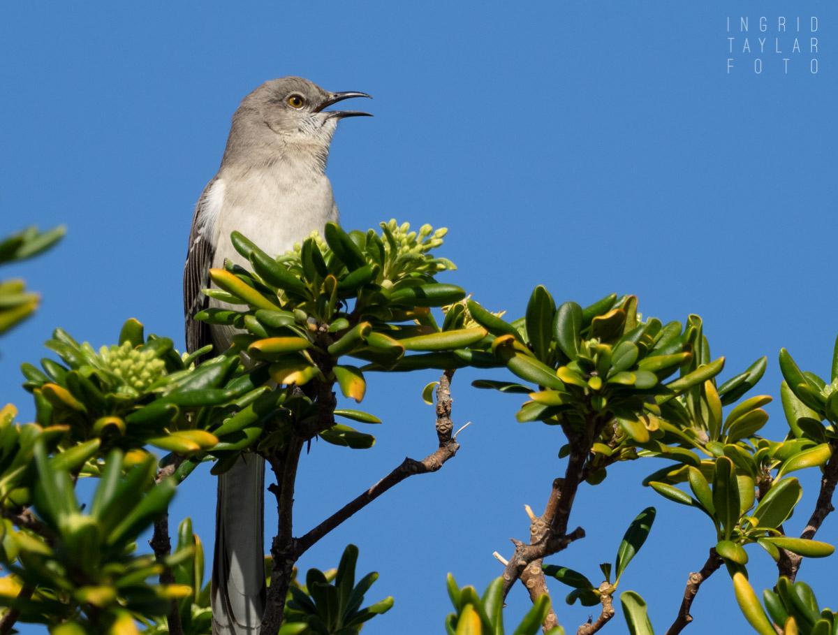 Northern Mockingbird in Song