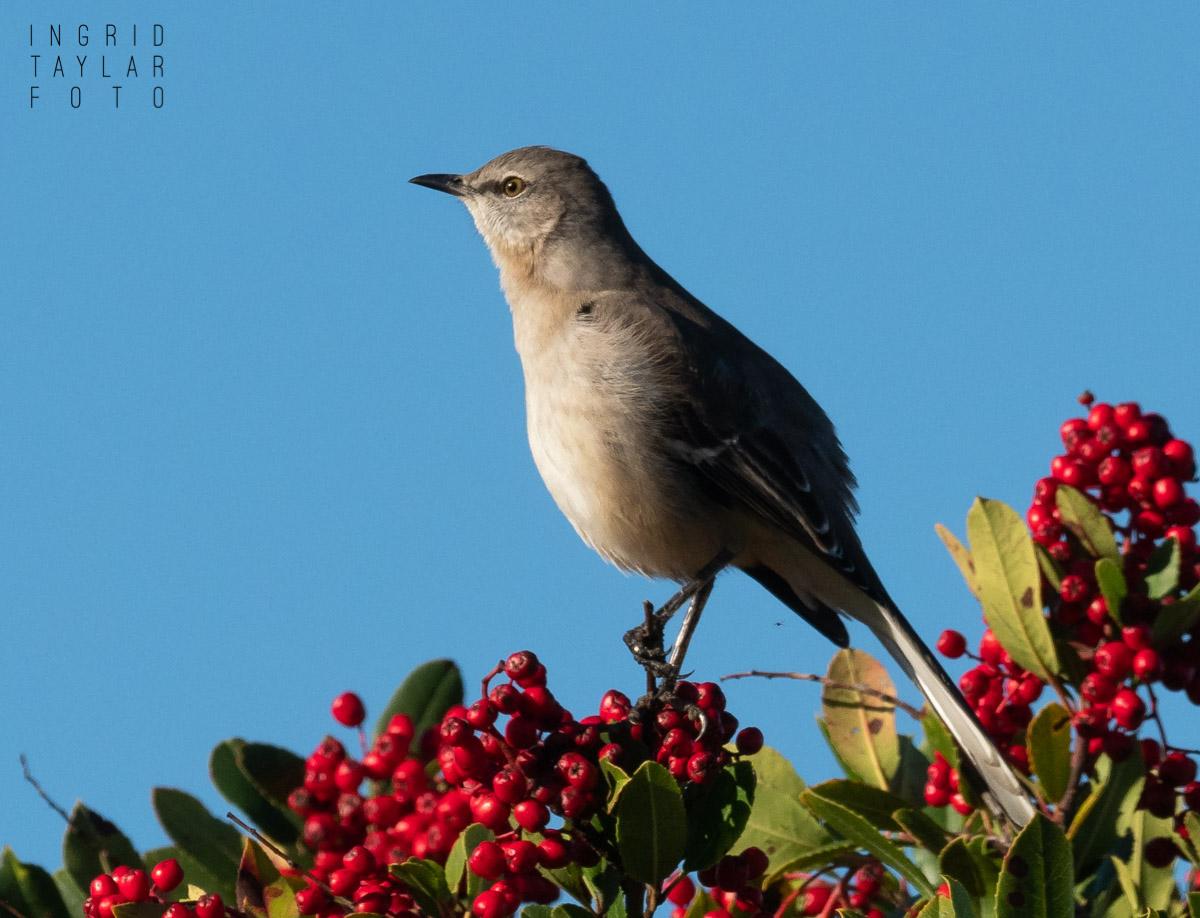 Northern Mockingbird in Winter Berries