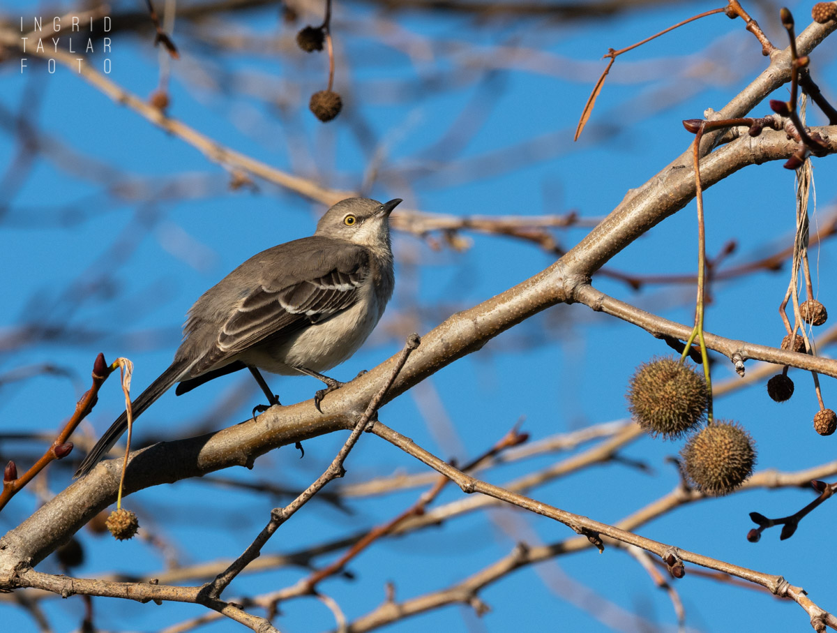 Northern Mockingbird in the Maze of a Sycamore Tree
