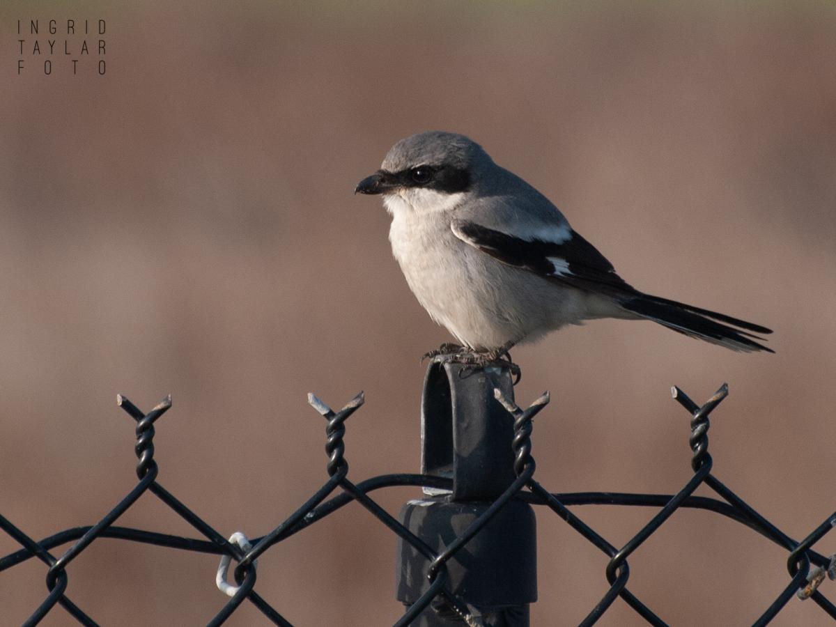 Northern Shrike on Fence