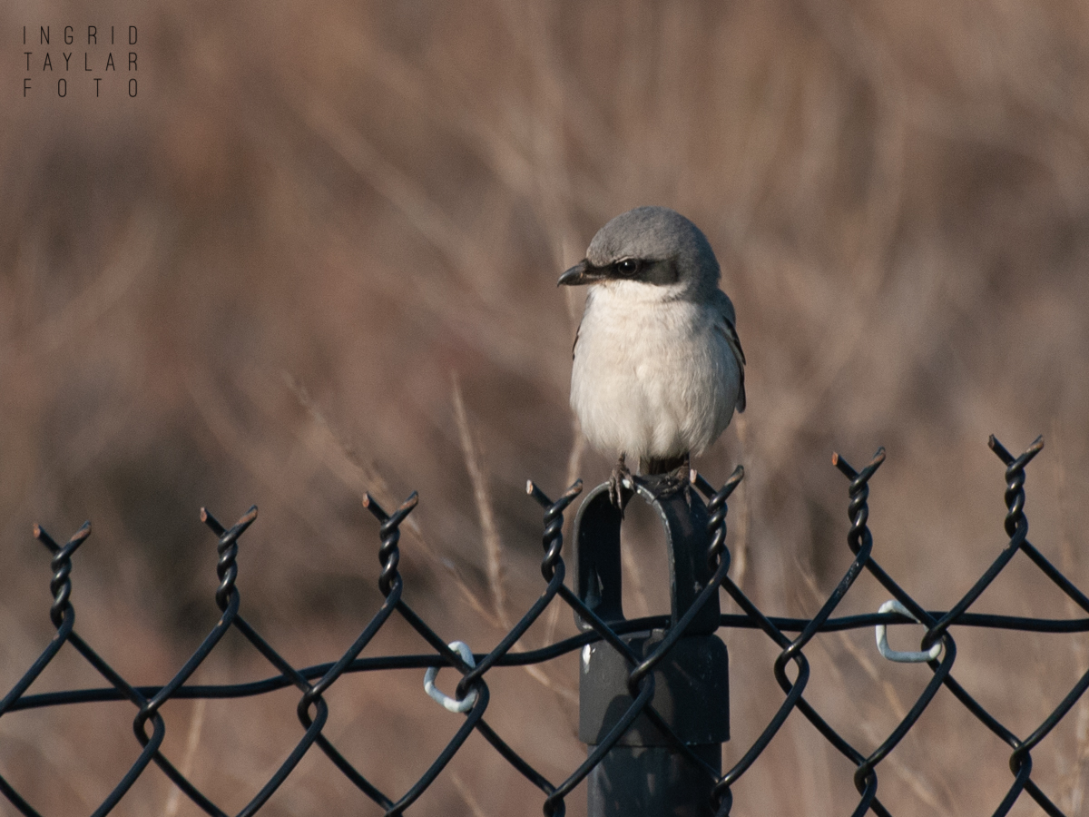 Northern Shrike on Fence at Coyote Hills