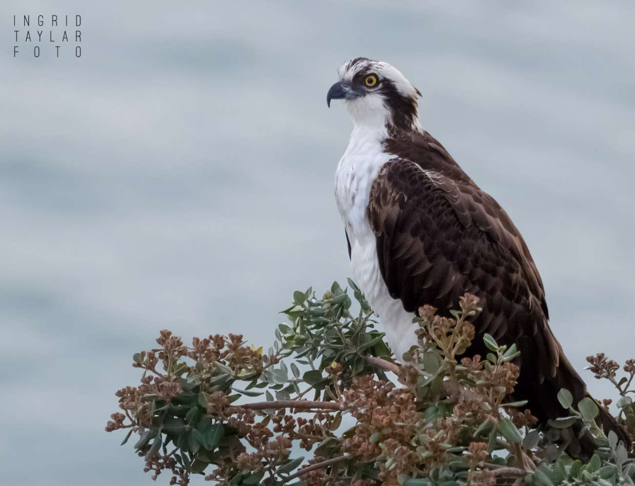 Osprey Gallery Cover Photo