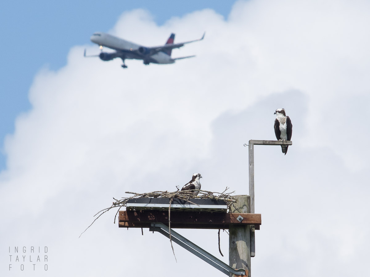 Osprey Under the SeaTac Flight Path