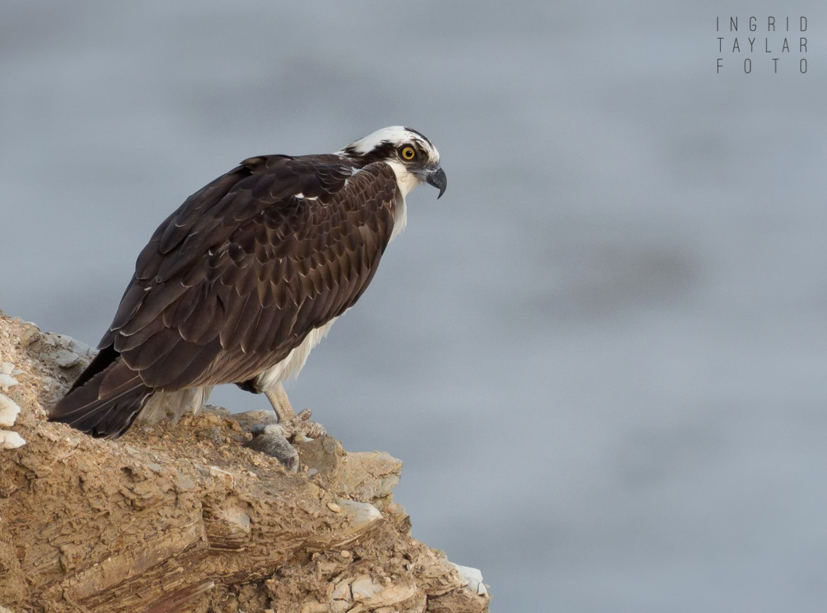 Osprey on California Cliff