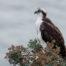 Osprey on the Bluff