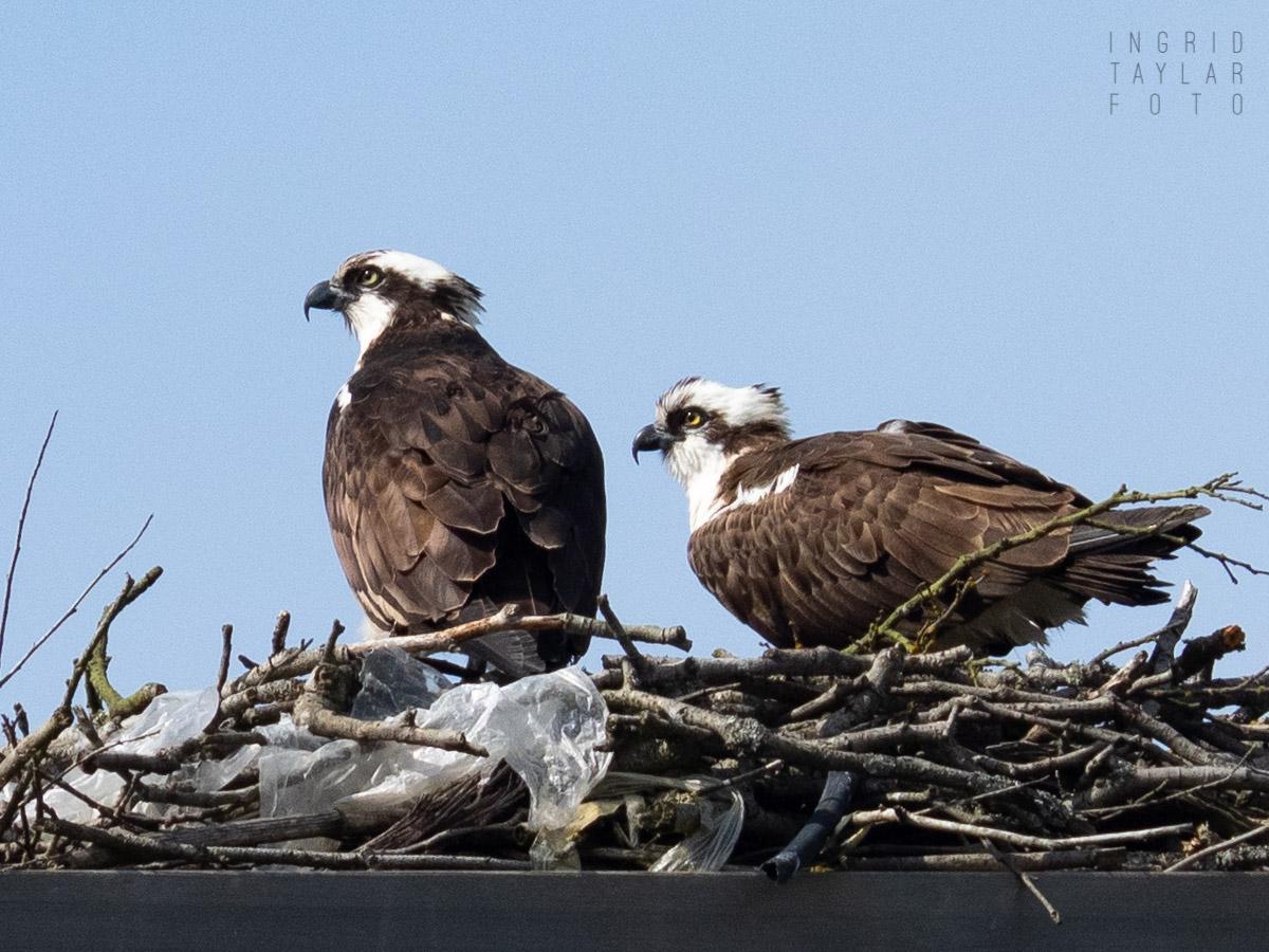 Ospreys on Nesting Platform