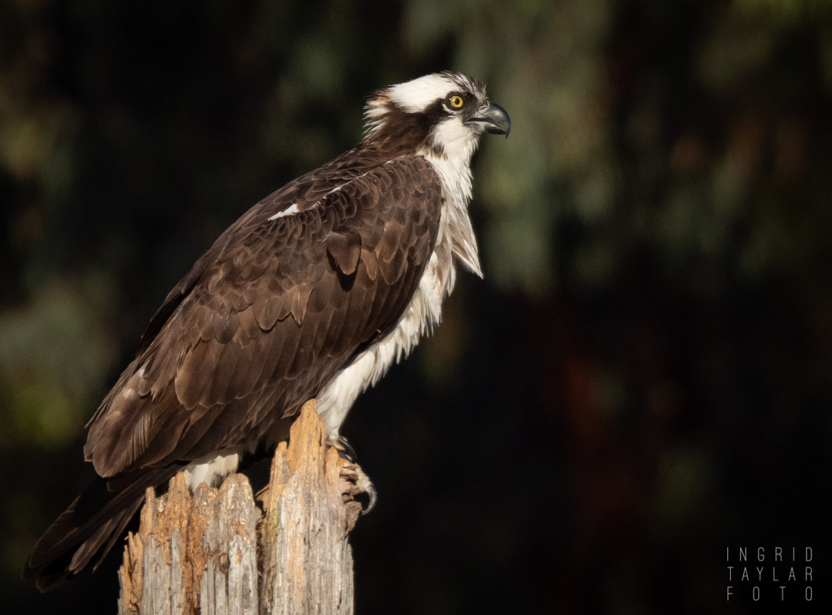 Perched Osprey in Magic Hour Light
