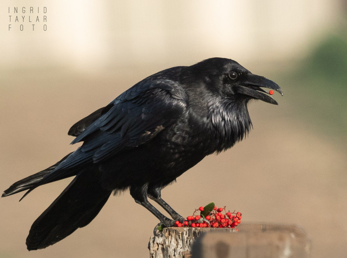 Raven Eating Berries