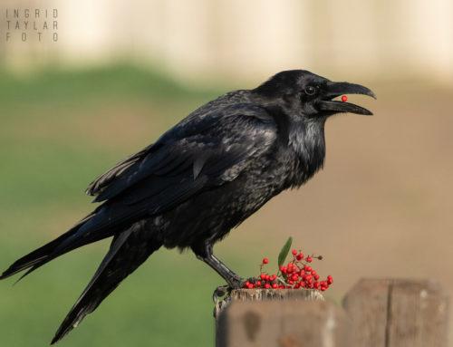 Crows + Ravens