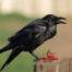 Common Raven Eating Berries