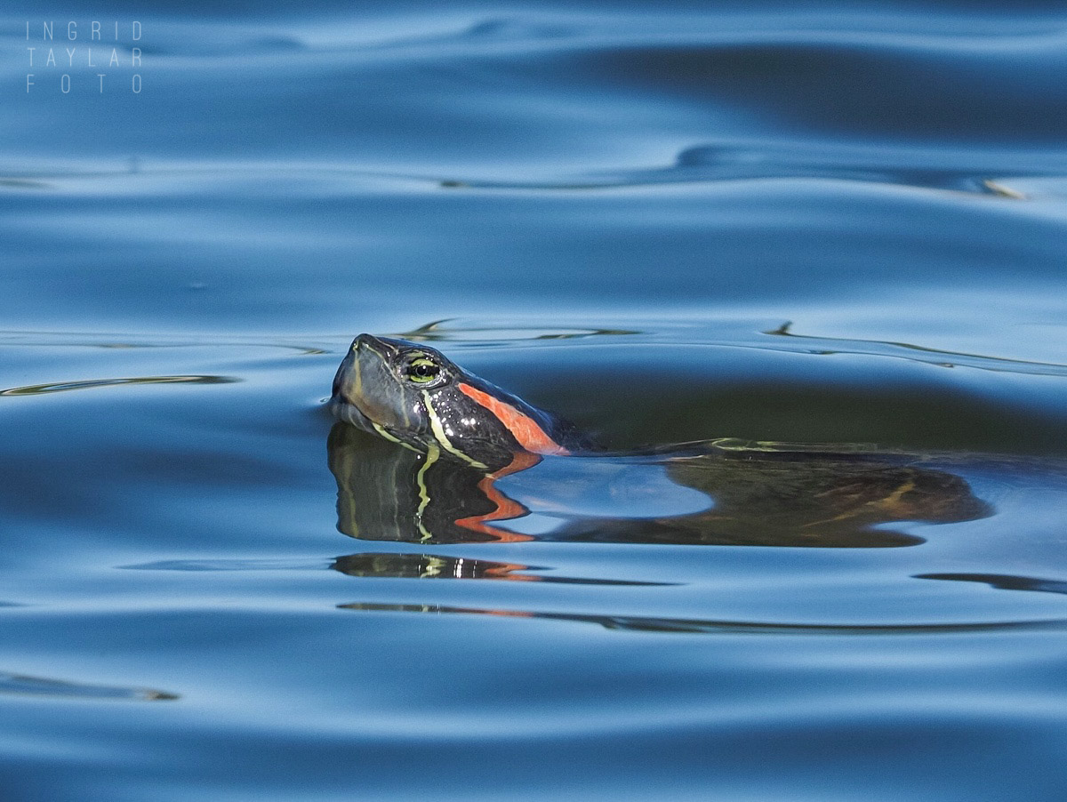 Red-Eared Slider in Pond