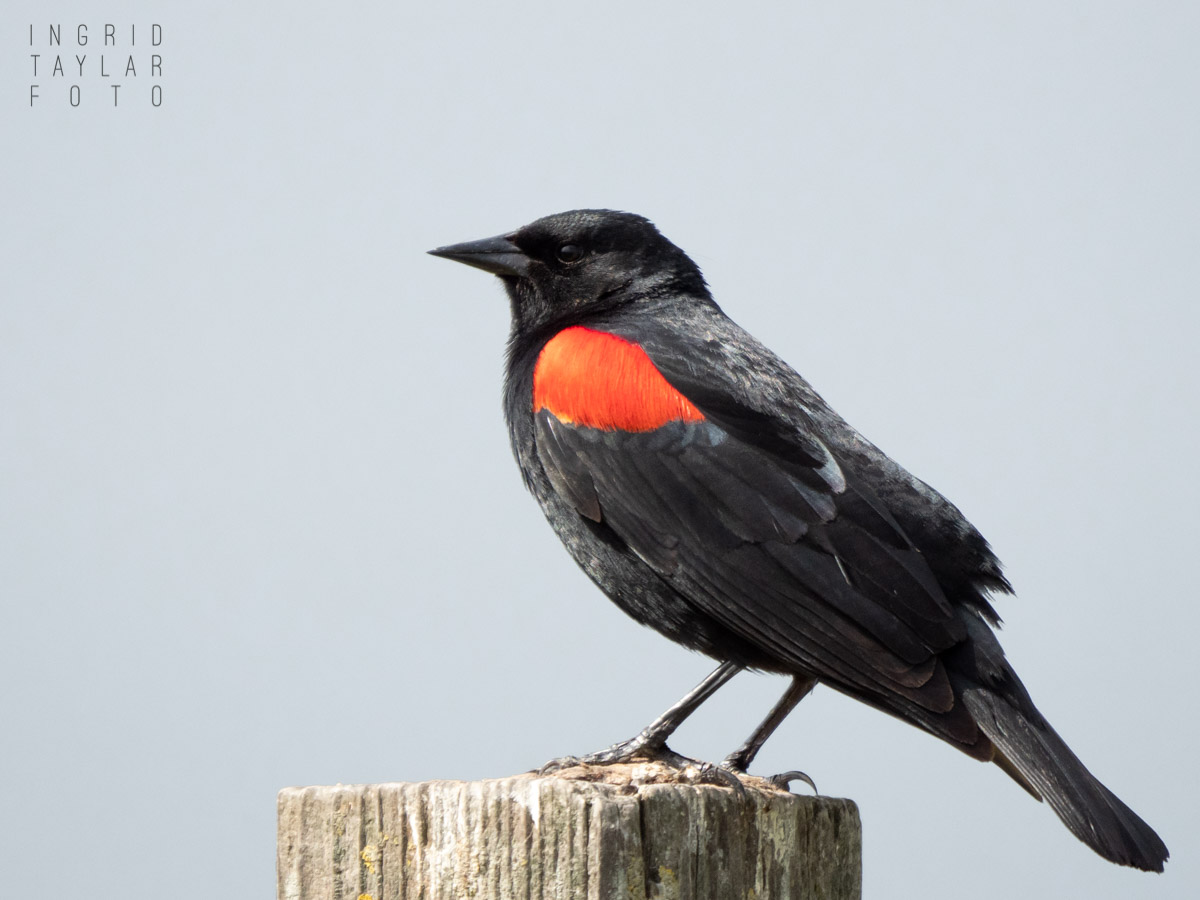 Red-Winged Blackbird on Post