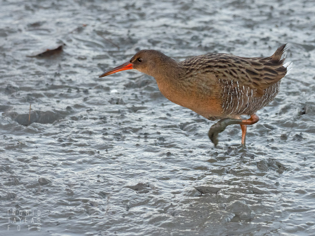 Ridgway's Rail in the Mud