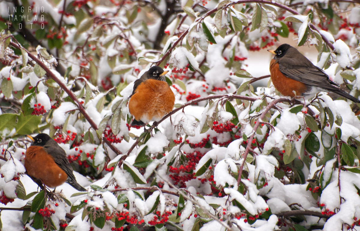 Robins on Snowy Cotoneaster