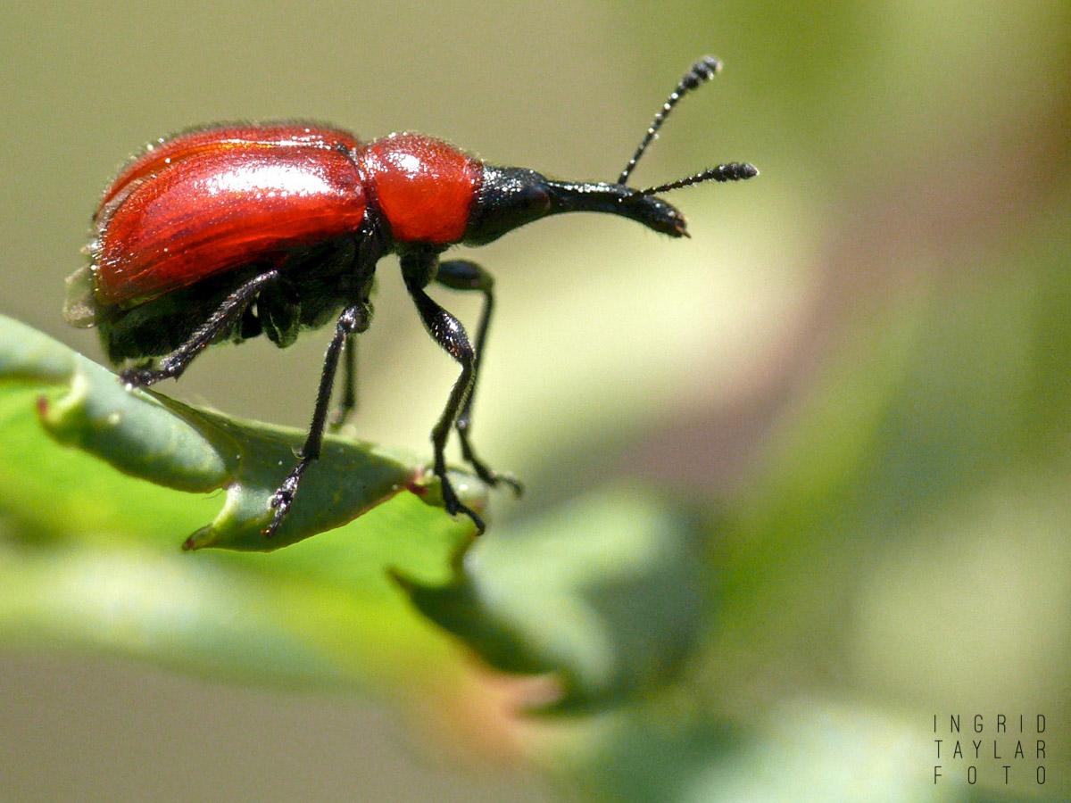 Rose Weevil on Leaf