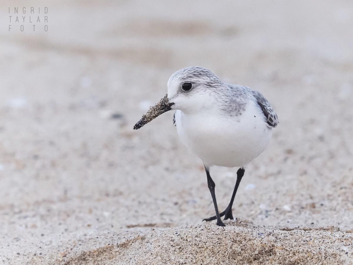 Sanderling on the Sand