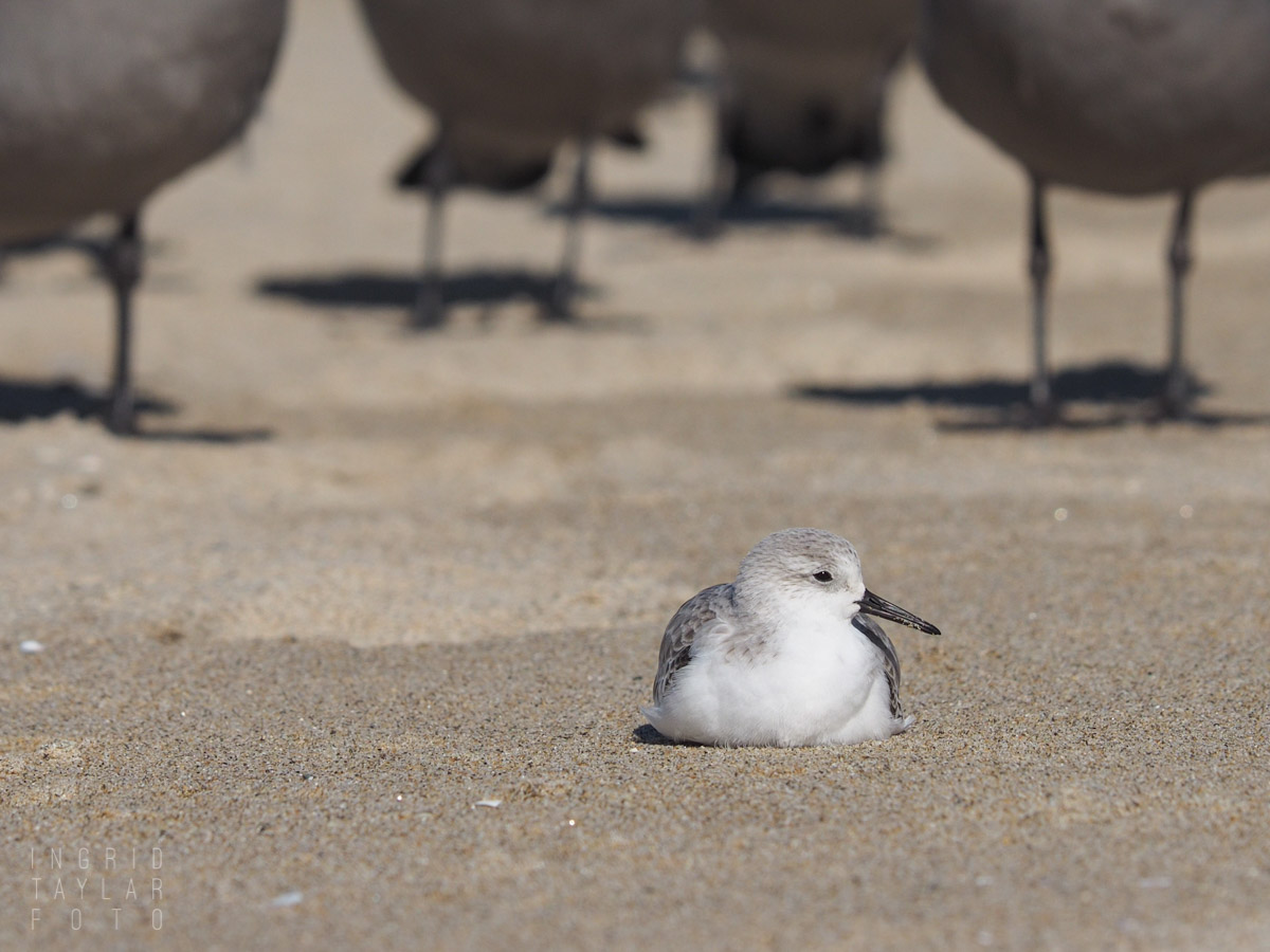 Sanderling with Gull Overlords