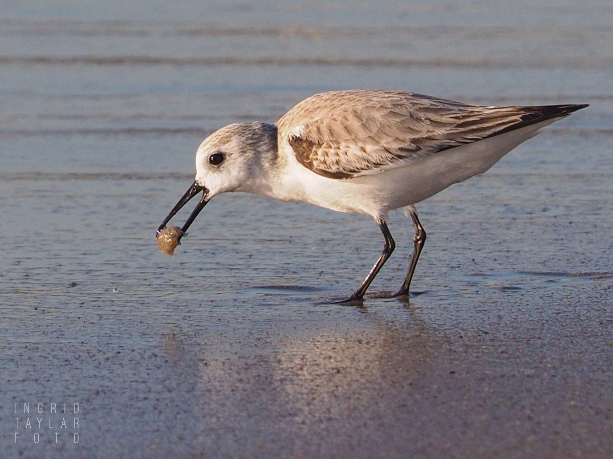 Sanderling with Mole Crab