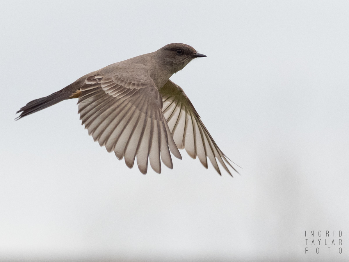 Say's Phoebe in Flight at Cesar Chavez Park