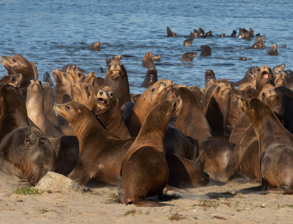 Sea Lion Pool Party Disturbed