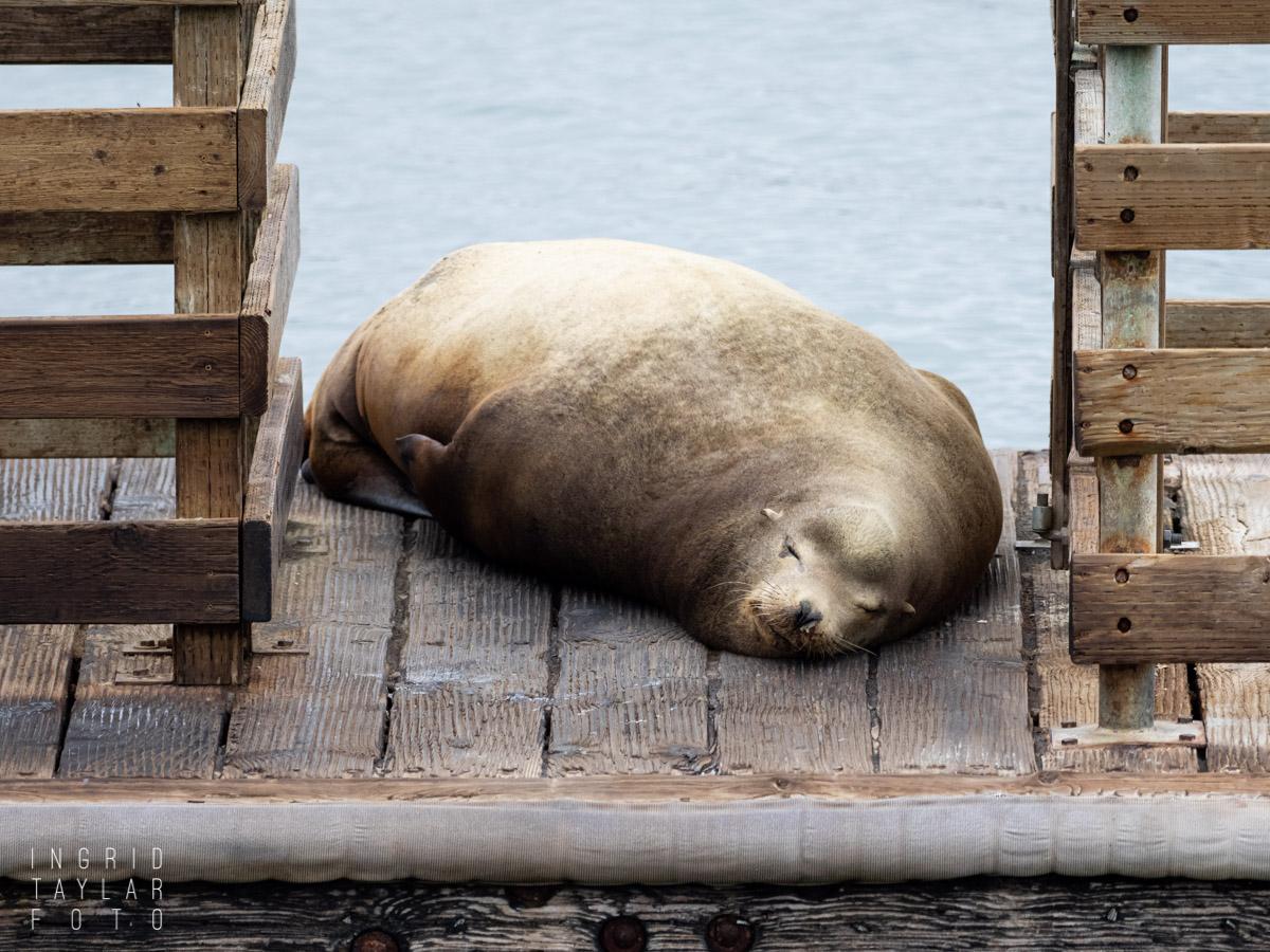 Sea Lion Sleeping on Dock