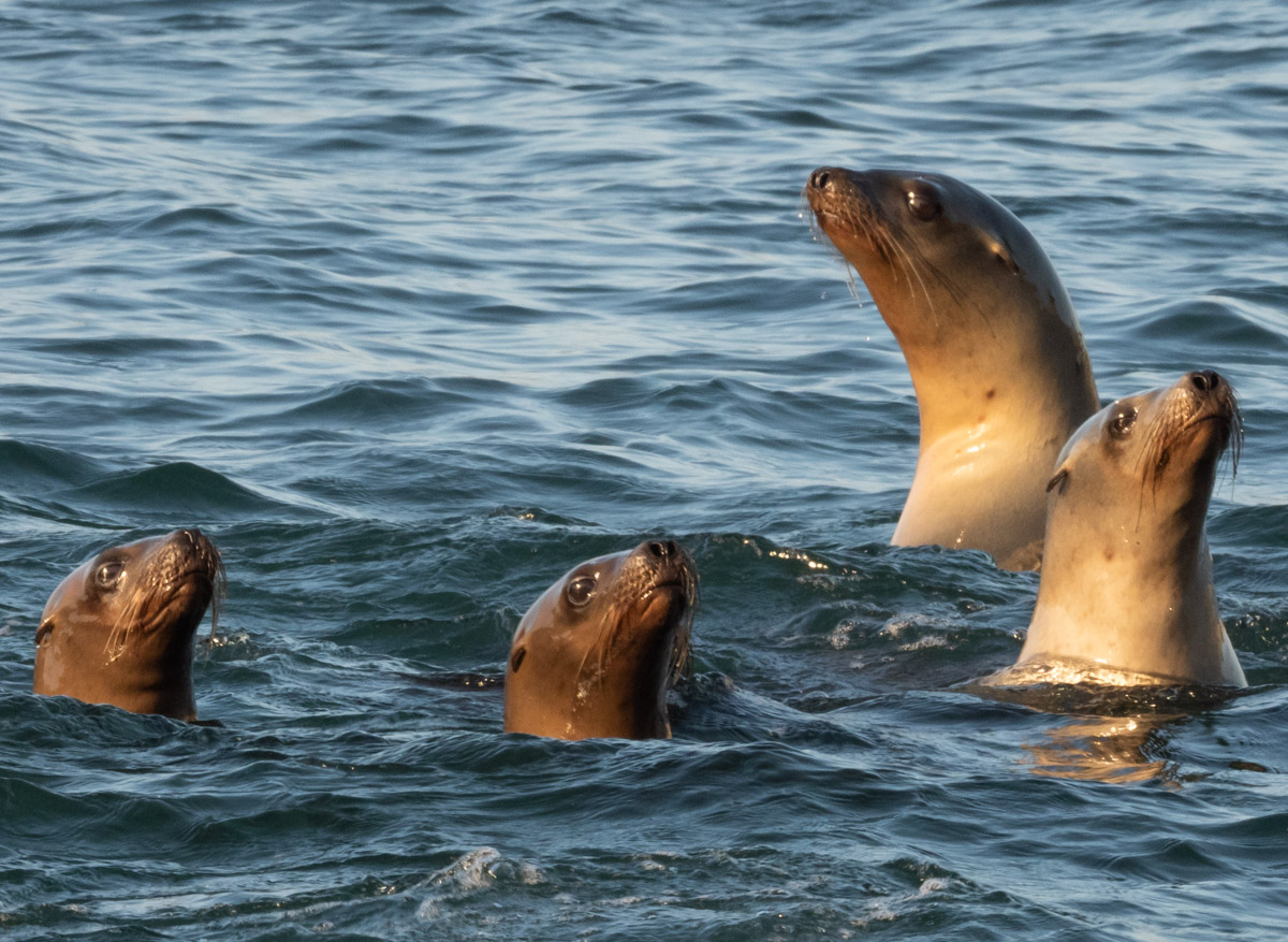 Sea Lions Periscoping