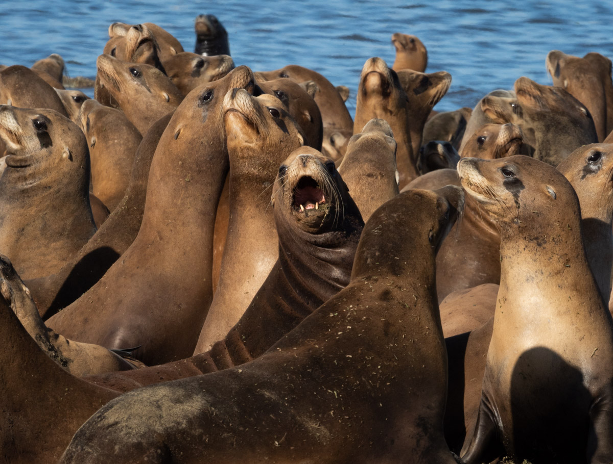 Sea Lions at Play in Moss Landing