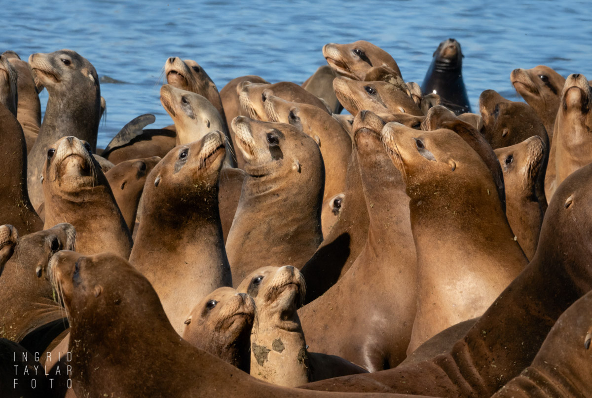 Seal Lion Party at Moss Landing