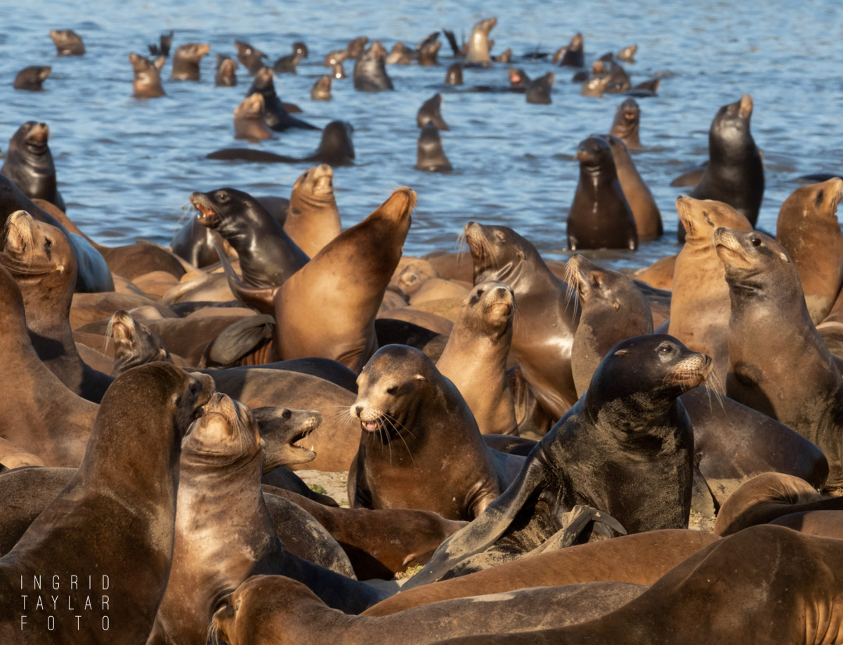 Seal Lion Pool Party at Moss Landing