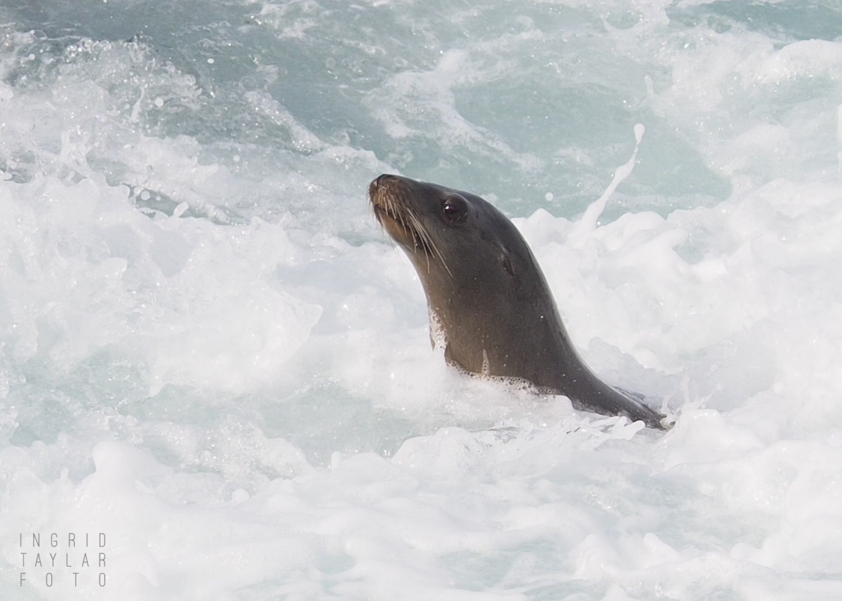 Seal Lion in the Surf