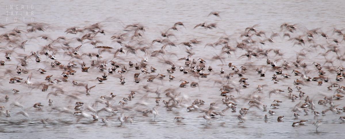 Shorebird Migration Wing Blur
