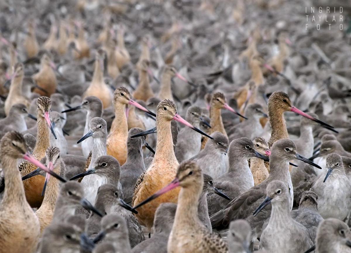 Shorebird Nation - Mixed Shorebird Flock