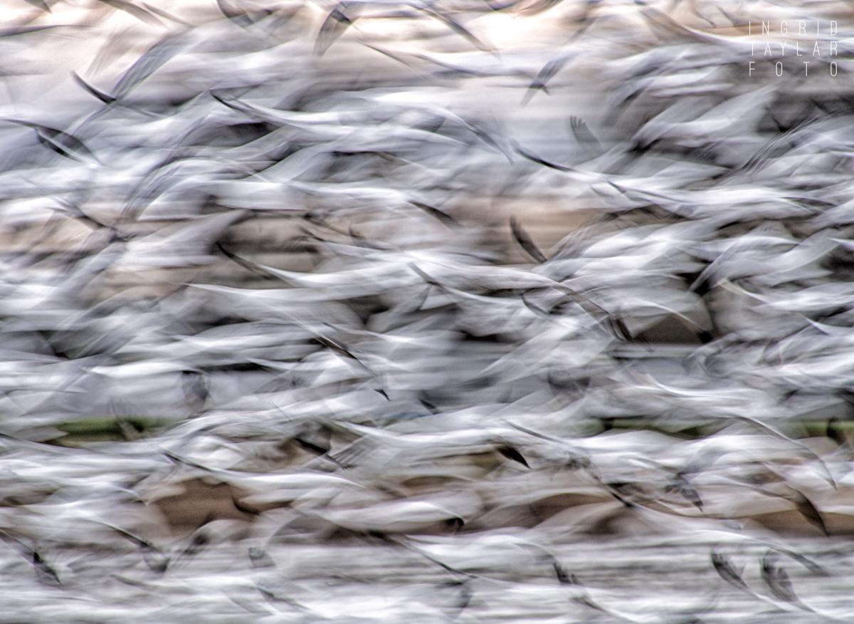 Snow Goose Flock in Flight Blur