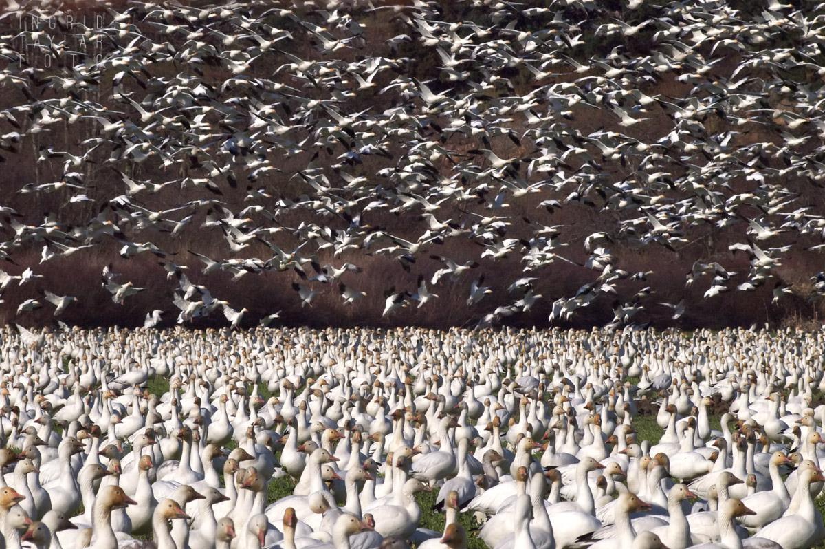 Snow Goose Flock in Flight on Fir Island Flight