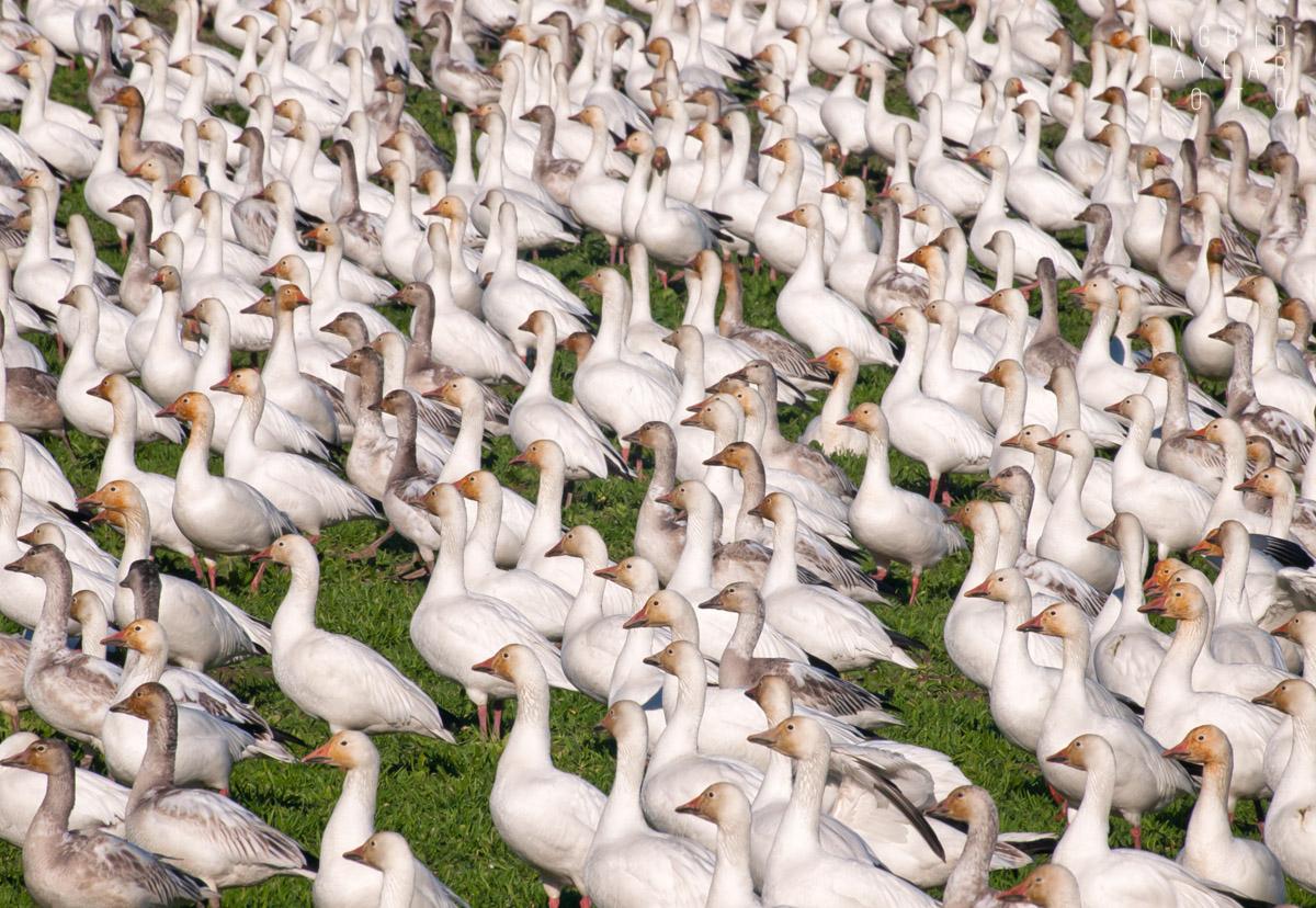 Snow Goose Flock on Fir Island-2