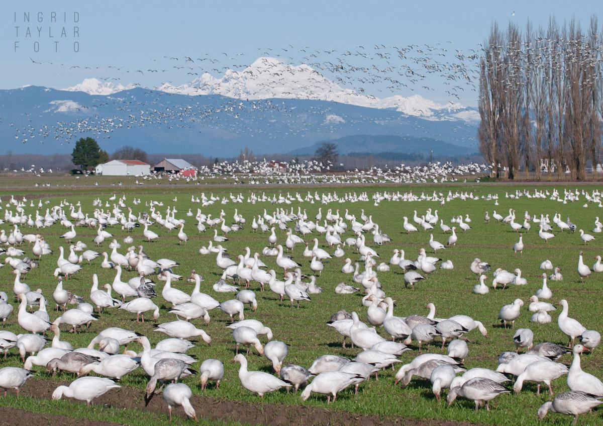 Snow Goose Flock on Fir Island-3