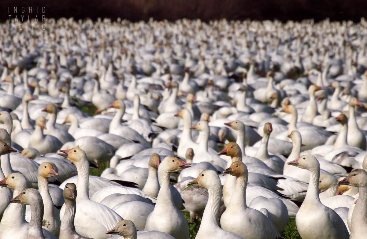 Snow Goose Flock on Fir Island
