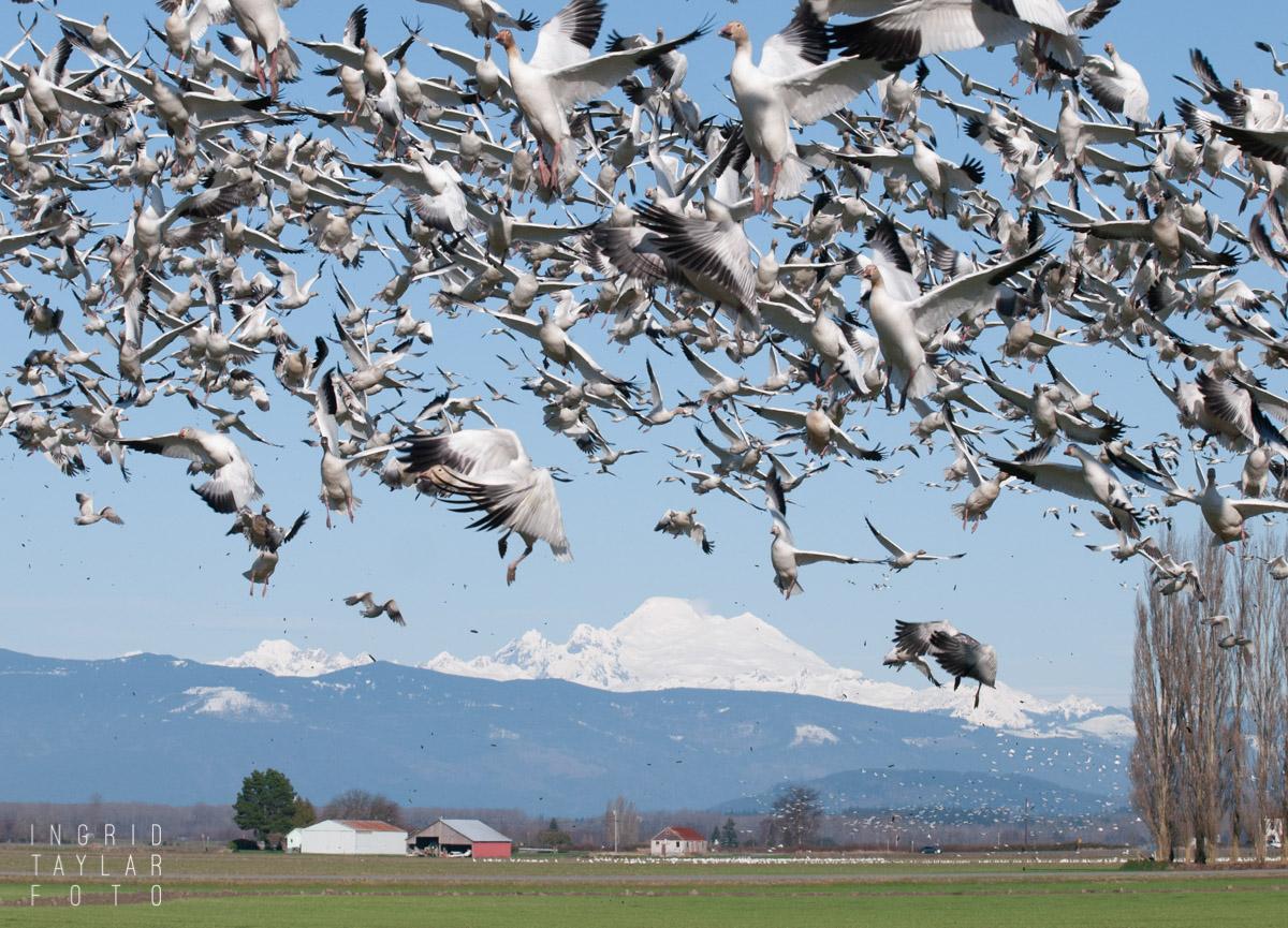 Snow Goose Takeoff on Fir Island