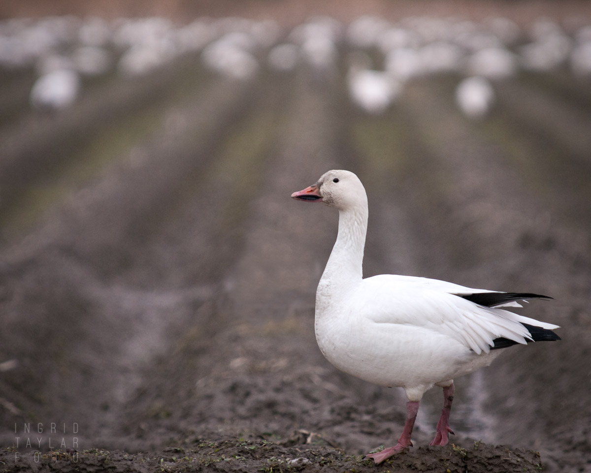 Snow Goose on a Cloudy Day in Washington