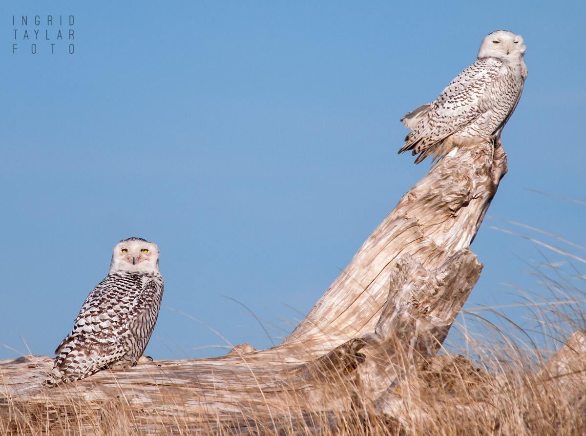 Snowy Owls in Ocean Shores