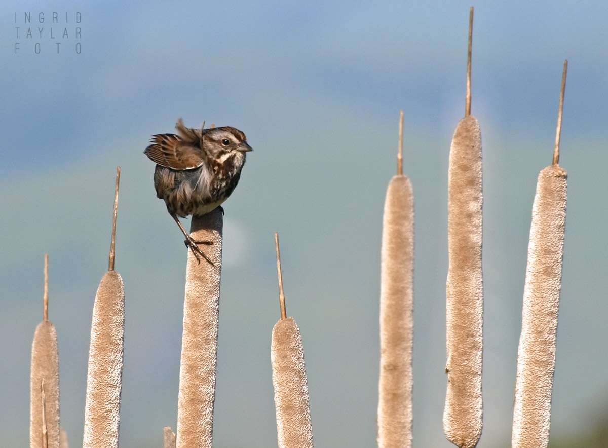 Song Sparrow on Cattails